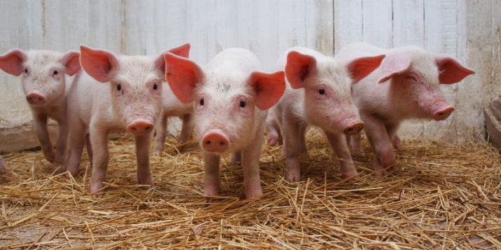 Пружанский райисполком приглашает инвесторов для строительства свиноводческого комплекса