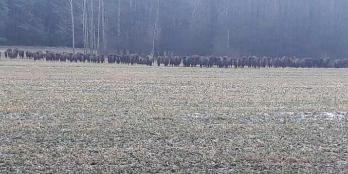 Фотофакт: в Пружанском районе более 50 зубров вышли на поле у объездной дороги вокруг пущи