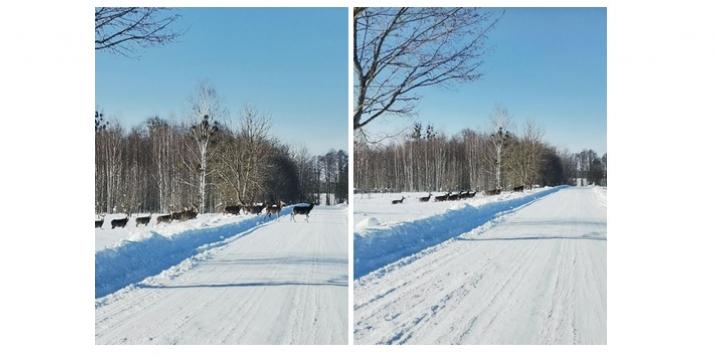 Фотофакт: Беловежская пуща, большой табун косуль переходит дорогу.