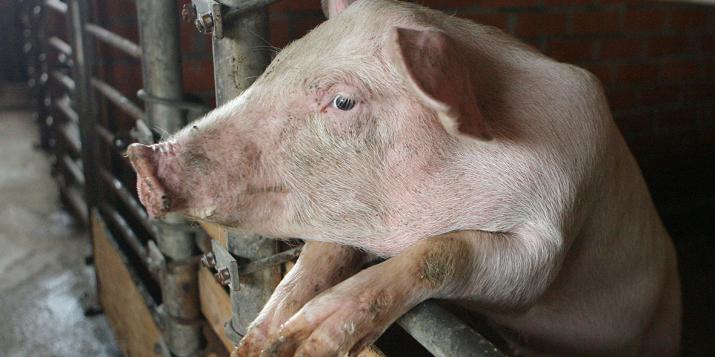 В 40 населённых пунктах Пружанского района запретили держать свиней. Штраф до 30 базовых(870 руб.)