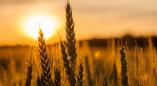 В 1 километре юго-восточнее агрогородка Хорева пожар уничтожил 0,25 гектара пшеницы на корню