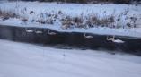 Лебеди остались зимовать на Мухавце. Фото
