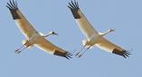 На Брестчину с зимовки вернулись журавли и белолобые гуси