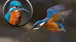 К «столовой для птиц» в Беловежской пуще прилетал на рыбалку зимородок. Посмотрите, какой красавец!