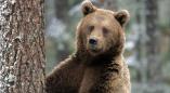 Бурый медведь попал в объектив фотоловушки возле Шерешево(видео)