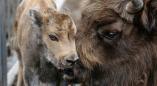 Увидеть стадо зубров - восторг? Руководителям сельхозпредприятий Пружанского района — головная боль.