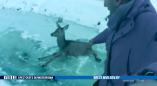 В Пружанском районе олень застрял на льду. Животному помогли люди