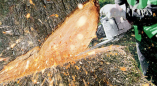 Пружанский райисполком информирует о выдаче разрешения на удаление 6 кленов на ул.Строительной