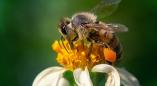 Хто будзе рабіць правільны мёд? Абарыгенных пчол шукалі мінулым летам у Ружанскай пушчы.