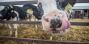 «Журавлиное» из Пружанского района - лидер молочного рейтинга Беларуси